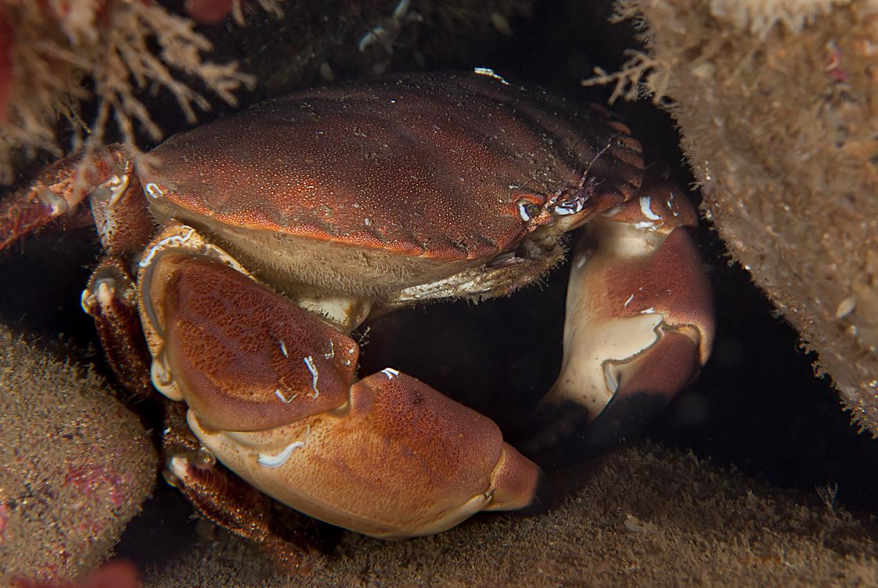 Edible crab (Cancer pagurus)