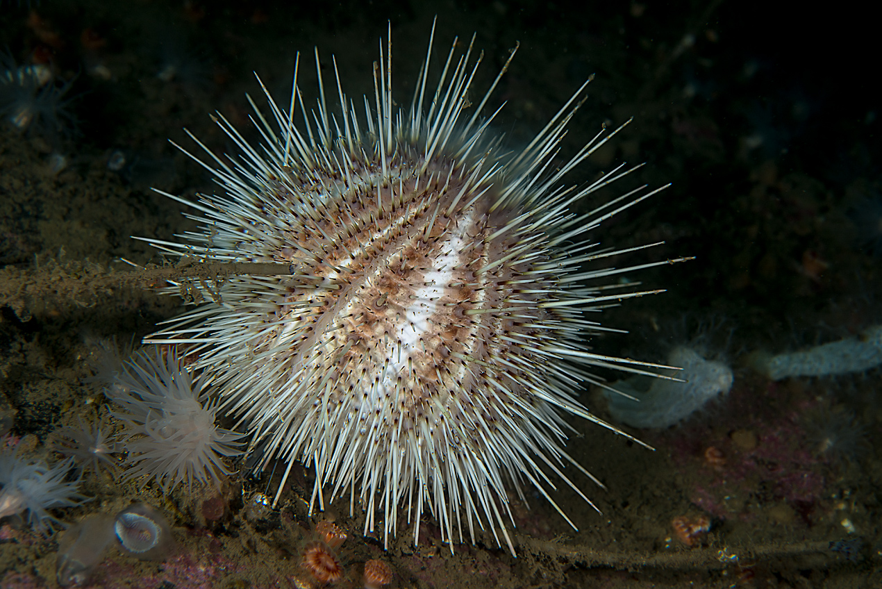 White sea urchin (Gracilechinus acutus)