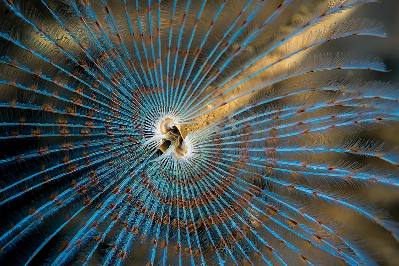Peacock tube worm (Sabella pavonina)