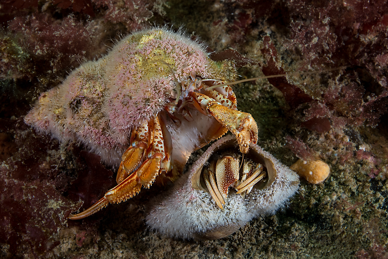 Common hermit crab (Pagurus bernhardus) covered with the hydroid Hydractinia echinata