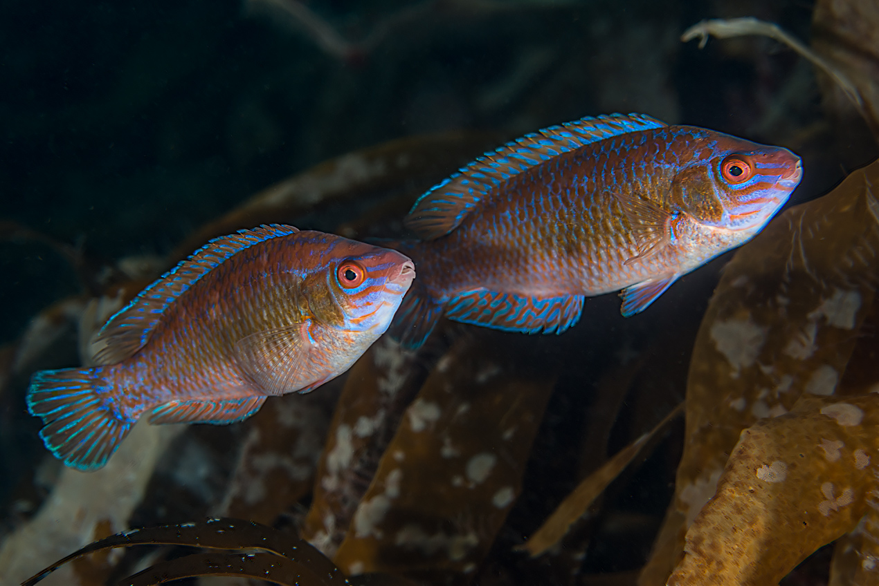 Small-mouthed wrasse (Centrolabrus exoletus)