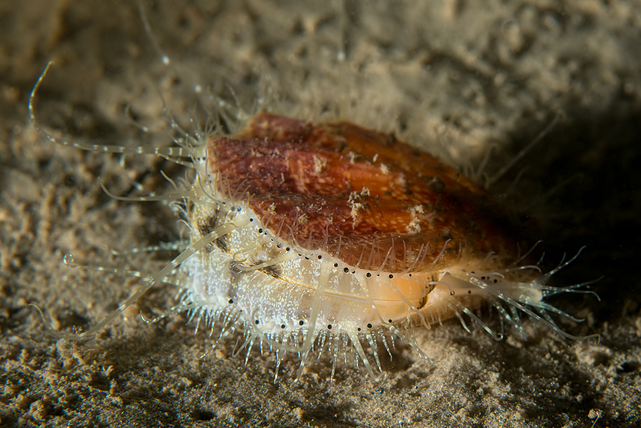 Seven-rayed Scallop (Pseudamussium peslutrae)