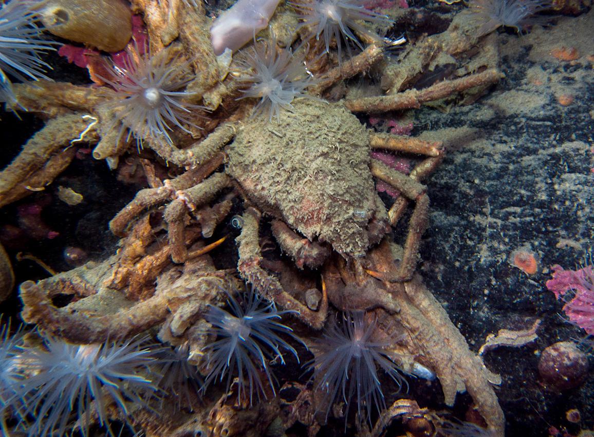 Spider crab (Hyas sp)