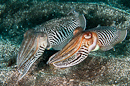 European common cuttlefish (Sepia officinalis)