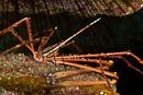 Östatlantisk pilkrabba (Stenorhynchus lanceolatus)