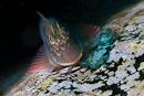 Redlip Blenny (Ophioblennius atlanticus)