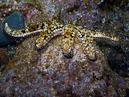 Blue spiny starfish (Coscinasterias tenuispina)