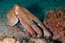 European common octopus (Octopus vulgaris)