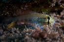 Goldspot goby (Gnatholepis thompsoni)