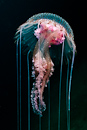 Purple-striped jellyfish (Pelagia noctiluca)