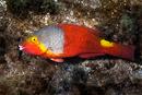 Mediterranean parrotfish (Sparisoma cretense)