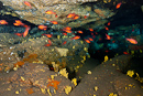 Mediterranean cardinalfish Apogon imberbis in cave with the sponge Dictyonella madeirensis