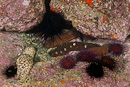 Variable sea cucumber (Holothuria sanctori) with Rock sea urchin (Paracentrotus lividus)