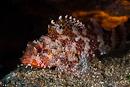 Madeiransk skorpionfisk (Scorpaena maderensis)