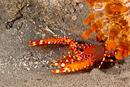 Flaming reef lobster (Enoplometopus antillensis)