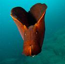Sooty seahare (Aplysia fasciata)