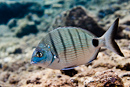 White bream (Diplodus sargus cadenati)