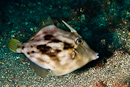 Pygmefilfisk (Stephanolepis hispidus)