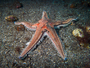 Red sand star (Astropecten aranciacus)