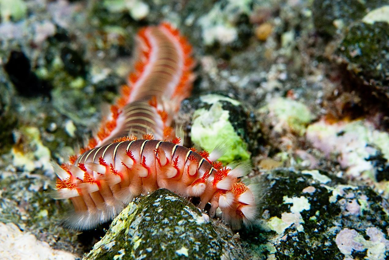 Bearded Fireworm (Hermodice carunculata)