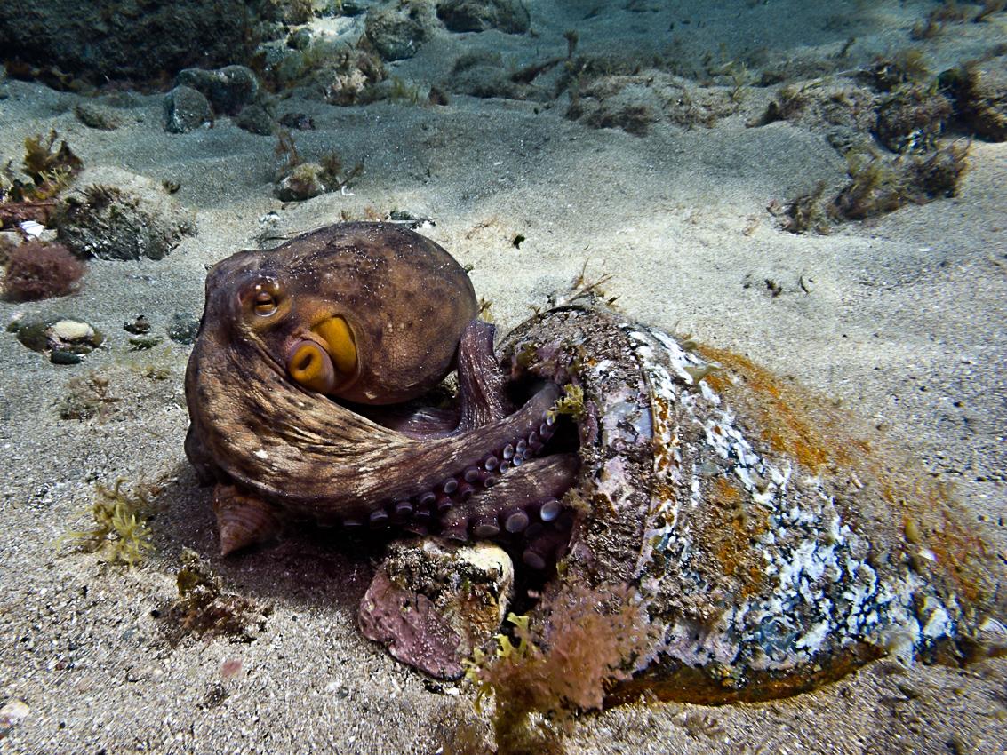 European common octopus (Octopus vulgaris)