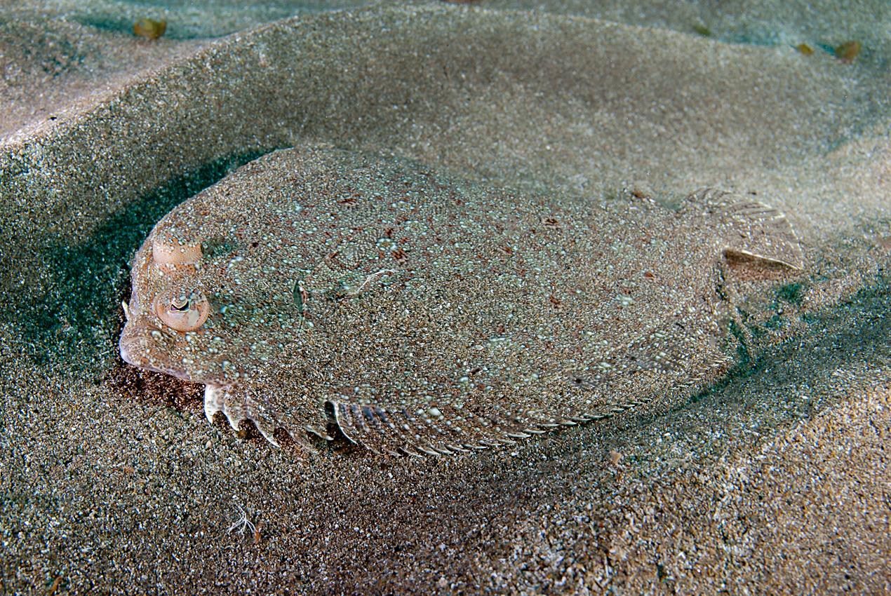 Wide-eyed flounder (Bothus podas maderensis)