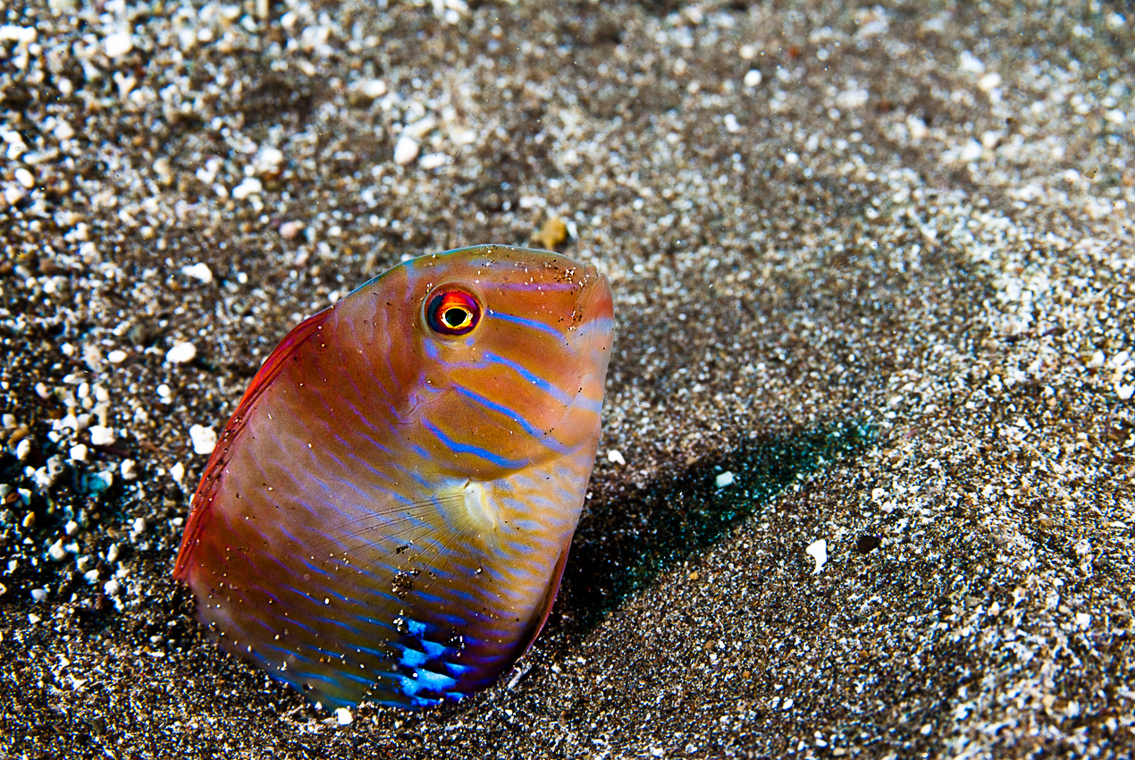 Pearly razorfish (Xyrichthys novacula)