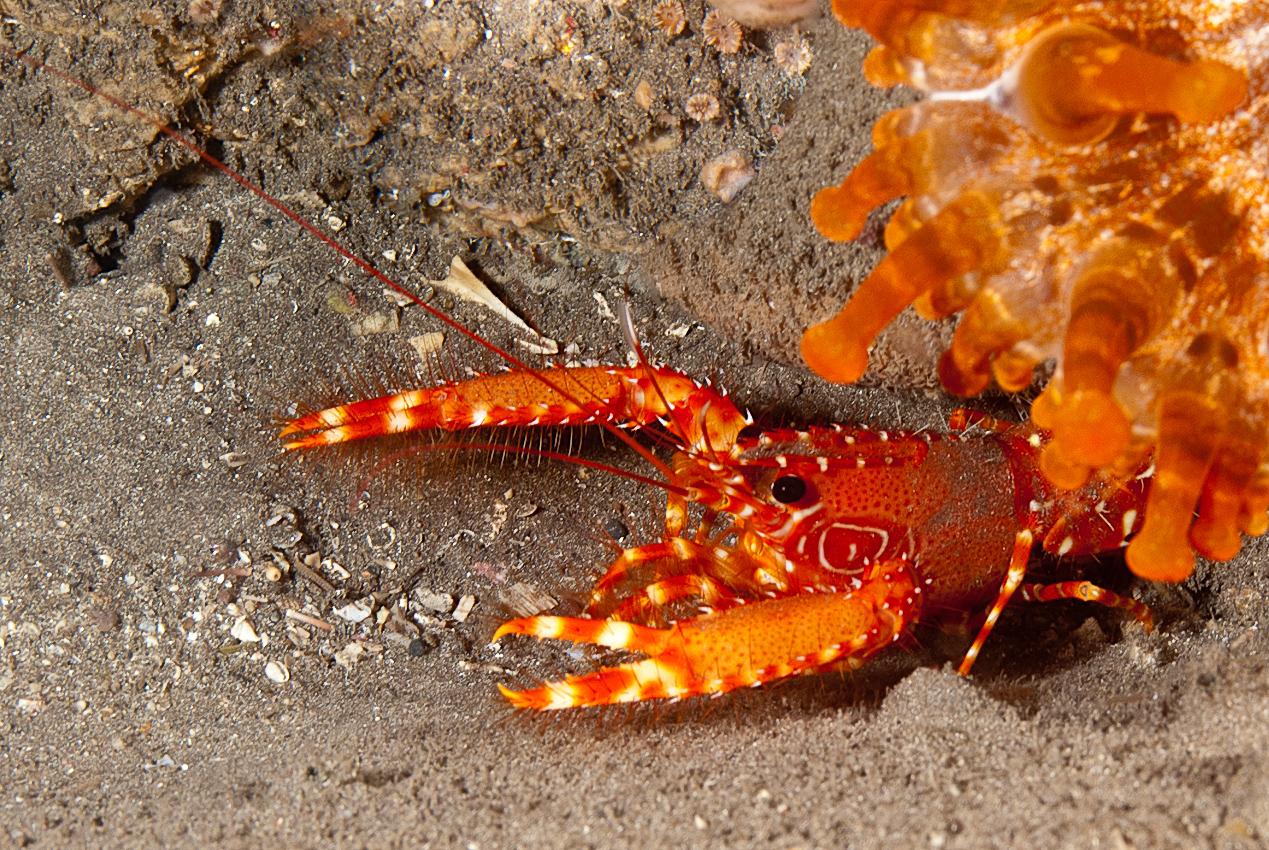 Flaming reef lobster (Enoplometopus antillensis)