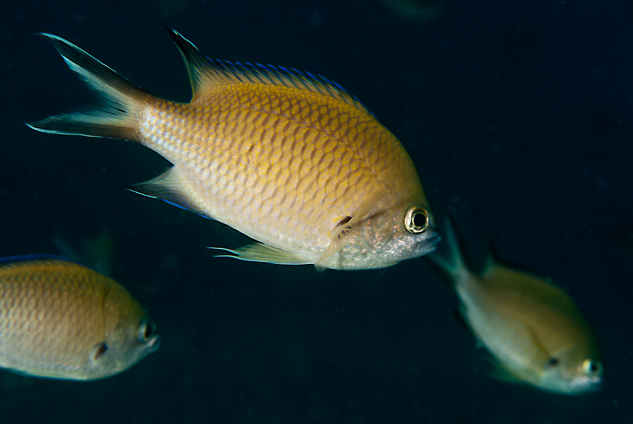 Atlantic damselfish (Chromis limbata)