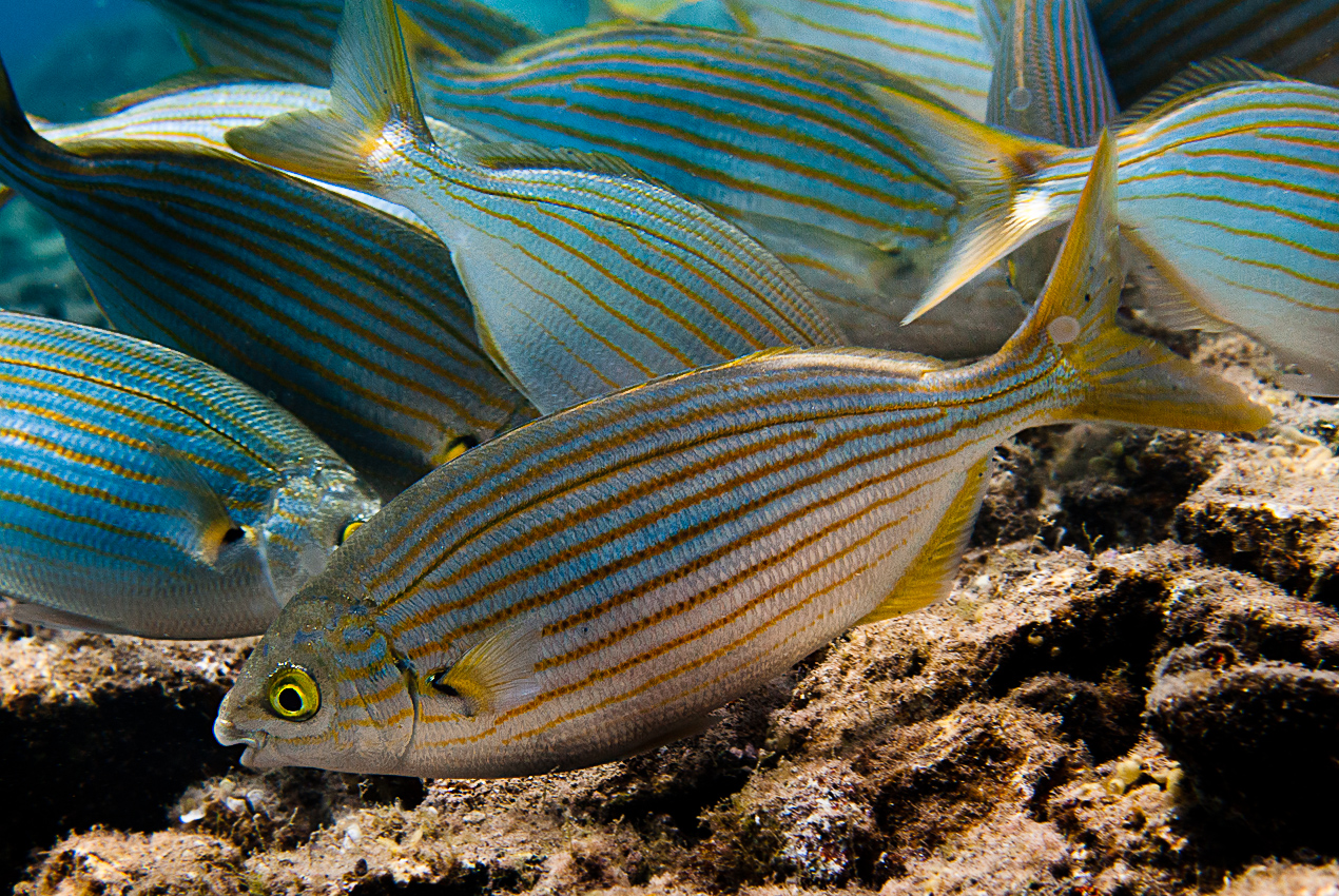 Gold-lined bream (Sarpa salpa)