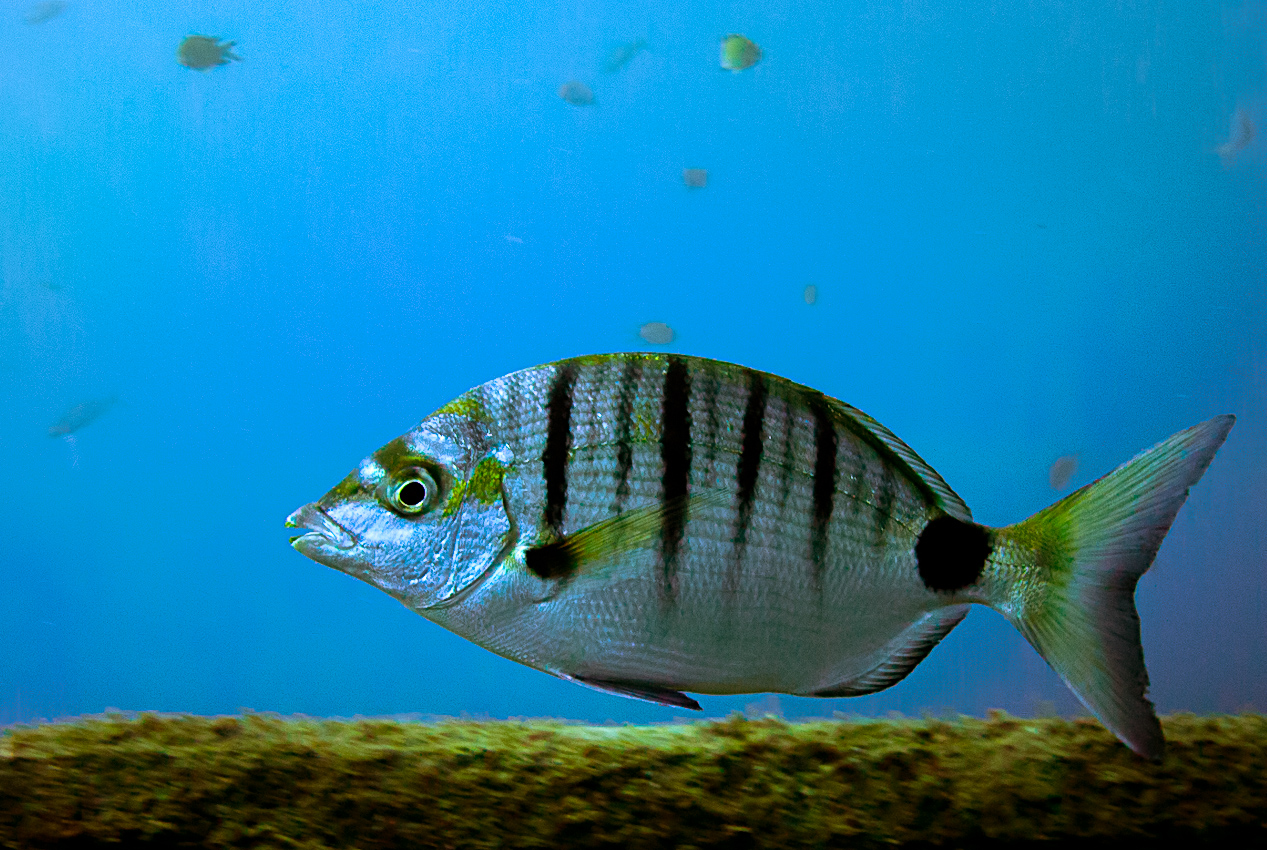 Sharp-snout sea bream (Diplodus puntazzo)