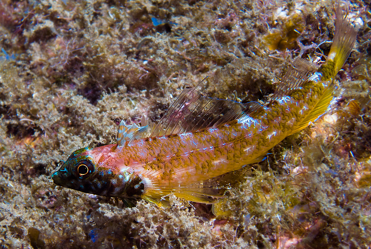 Black-faced blenny (Tripterygion delaisi)