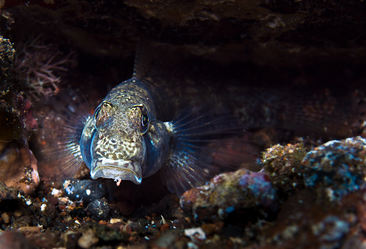 The goby Mauligobius maderensis