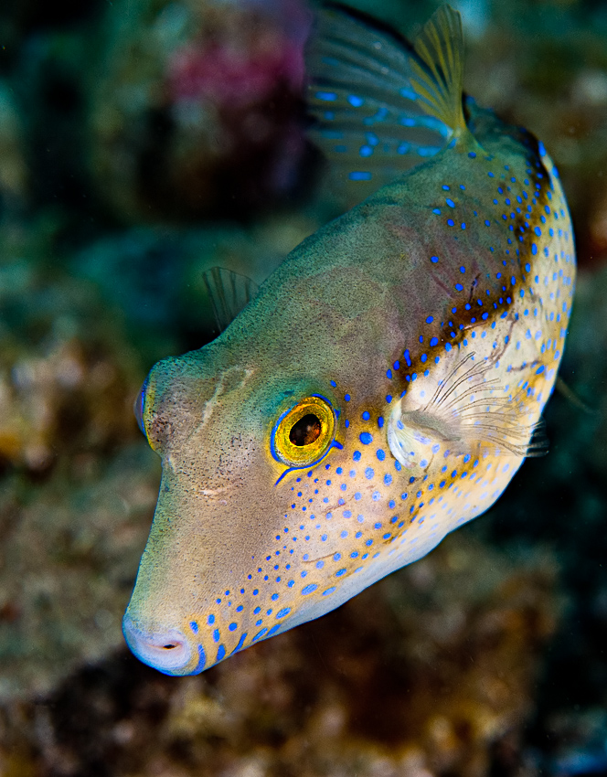 Caribbean sharpnose puffer (Canthigaster rostrata)