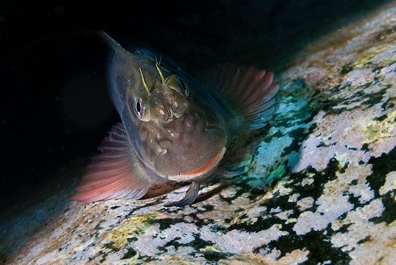 Redlip blenny from Tenerife