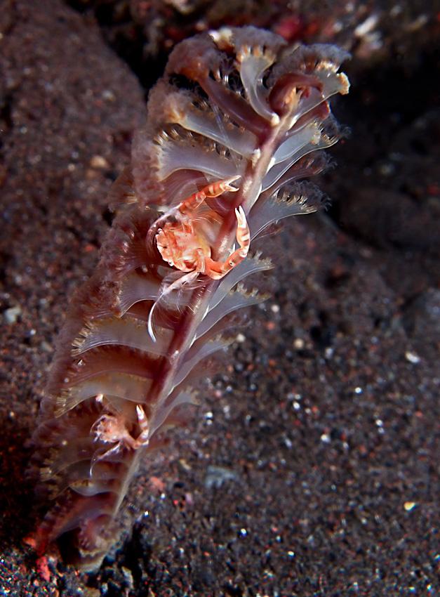 Porslinskrabbor på en sjöpenna