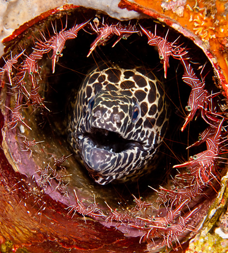 Honeycomb moray with shrimps