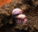 nakensnäcka (Felimida macfarlandi )