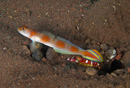 Flag-tail prawn goby (Amblyeleotris yanoi) with the snapping shrimp Alpheus randalli