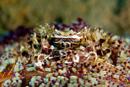 Zebra urchin crab (Zebrida adamsii) on Fire urchin