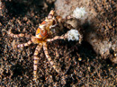 Boxer crab (Lybia tesselata) armed with stinging anemones