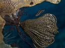Featherstar clingfish (Discotrema lineata)