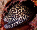 Honeycomb moray (Gymnothorax favagineus)