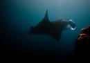 Manta ray (Manta birostris)