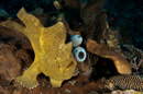 probably Giant frogfish (Antennarius commersonii)