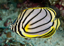 Meyers fjärilsfisk (Chaetodon meyeri)