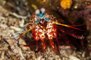 Smashing mantis shrimp (Odontodactylus sp)