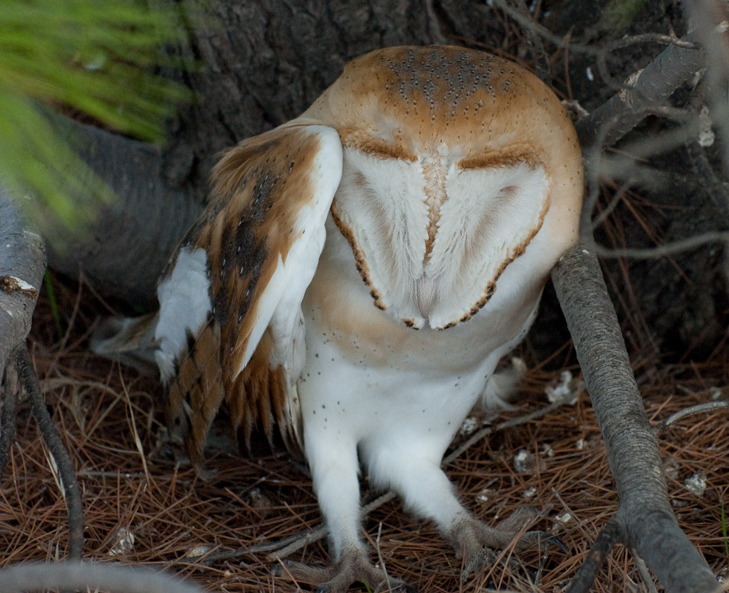 Wing-broken barn owl