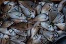 död fisk på marknaden